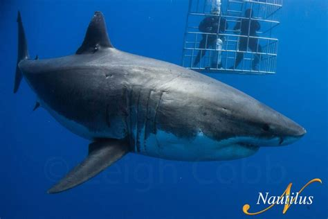 great white shark dive dive travel dive expeditions