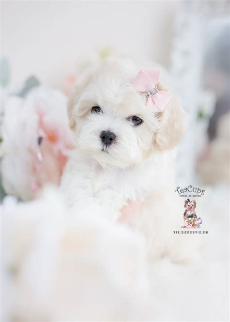 maltipoo puppy  sale teacups puppies boutique