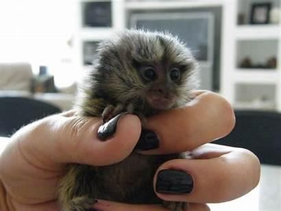 Monkey Squirrel Marmoset Animals Finger Pet Oklahoma