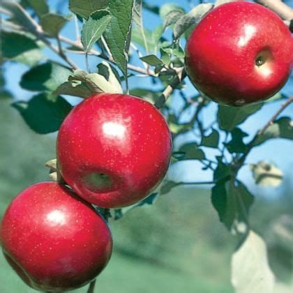 **Jonafree Apple - disease resistant - Sept crop | Apple ...