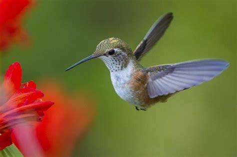 hummingbird nesting habits animals mom me