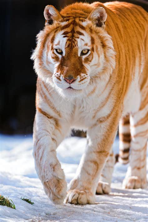 Golden Tiger Walking The Snow Same
