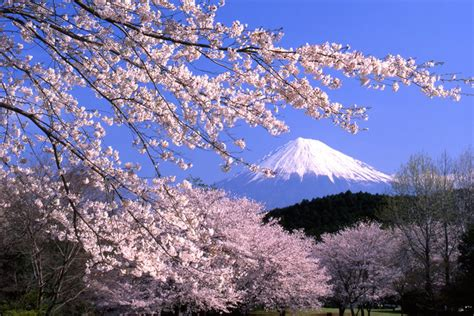 japanese cherry blossom facts japan s cherry blossom 15 facts about sakura insider journeys