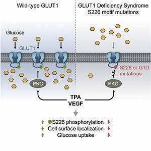 Researchers identify cellular regulator of glucose ...