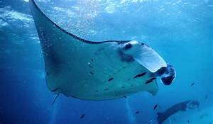 Reducing Manta Ray Mortality In The World U2019s Largest