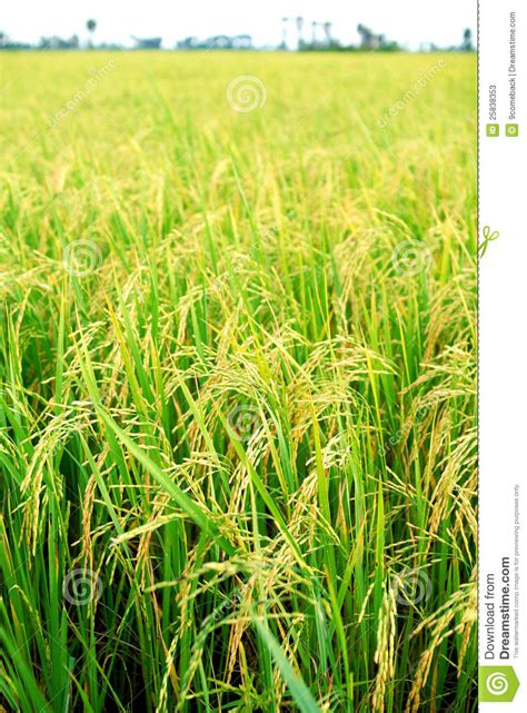 Rice Plantation Stock Photos   Image: 25838353