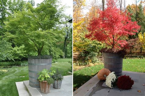 best japanese maples for containers dwarf japanese maple in container www pixshark com images galleries with a bite
