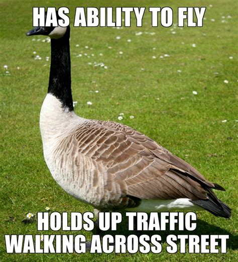 Silly Goose Meme - these duck and goose hunting memes are almost fowl