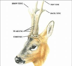 Parts Of The Roe Deer Antlers