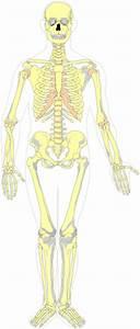 Skeletal Diagram Clip Art At Clker Com
