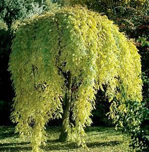Taille Du Saule Pleureur : sophora planter et cultiver ooreka ~ Melissatoandfro.com Idées de Décoration