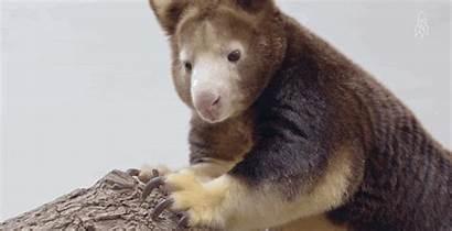 Kangaroo Cutest Tree Habitat Animated Kangaroos Survive