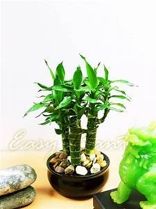 Grand Pot Plante : 1 grand lotus bambou plante d 39 int rieur tubus pot ~ Premium-room.com Idées de Décoration