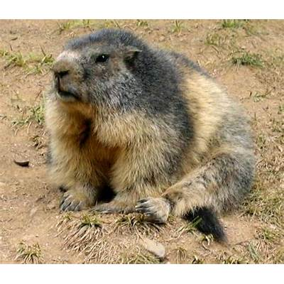 Animal A Day!: Alpine Marmot