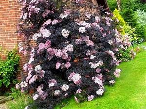 Holunder Black Beauty Essbar : sambucus nigra black tower sureau noir black tower ~ Michelbontemps.com Haus und Dekorationen