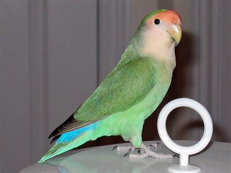 rosy faced lovebird colour genetics wikipedia