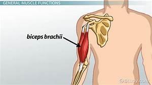Biceps Brachii  Origin  Insertion  U0026 Function