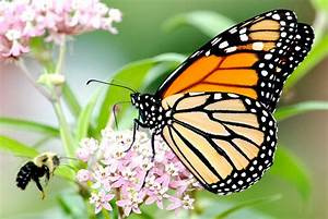 Monarch Butterfly And Bumble Bee On Swamp Milkweed