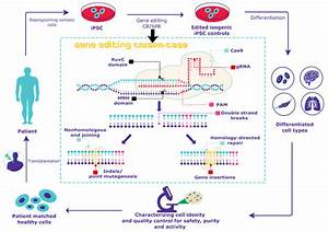 Crispr Cas9 Gene Editing Protocol For Human Ipscs