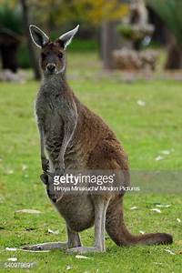 Red Kangaroo Mother With Joey In Pouch Australia Stock ...