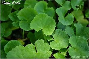 5 Amazing Benefits  Uses Of Gotu Kola