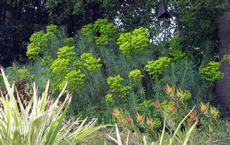 meditteranean plants euphorbia plants that brighten up the late winter garden mediterranean landscape san
