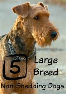 large dog breeds that don t shed dogvills
