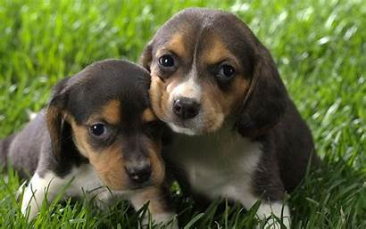 Beagle Puppy Puppies Dog Beagles Dogs Funny