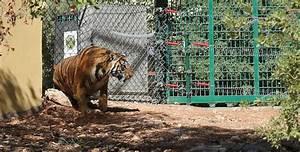Rescued tigers, bear get new life in Jordan wildlife ...