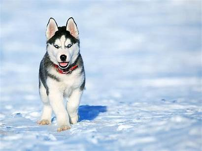 Husky Siberian Wallpapers Eyes Puppy Snow