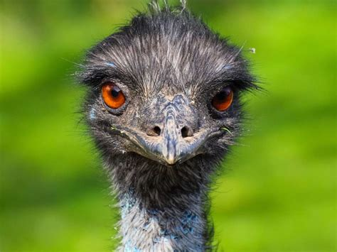 Emu oil: Uses, benefits, and side effects