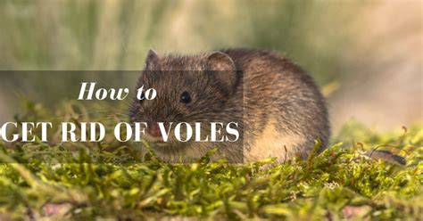 how to get rid of voles how to get rid of voles in garden 1000 images about vole and other garden pests on how to get
