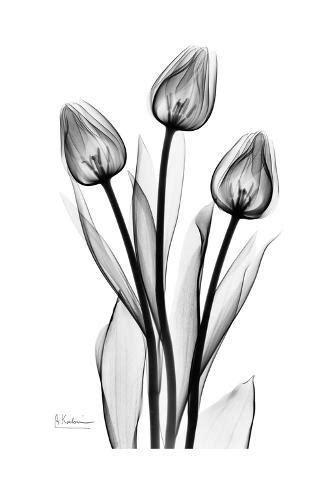 tall early tulips  black  white print  albert