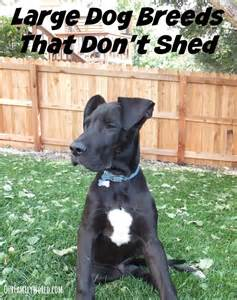 large dog breeds that don 39 t shed dogvills