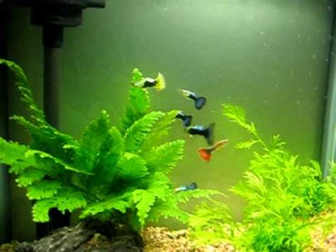 guppy planted tank youtube