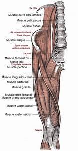 File:Muscles face antérieure de la cuisse.png - Wikimedia ...