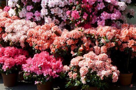 entretien azalee en pot azal 233 e japonaise conseils de culture de taille et d entretien