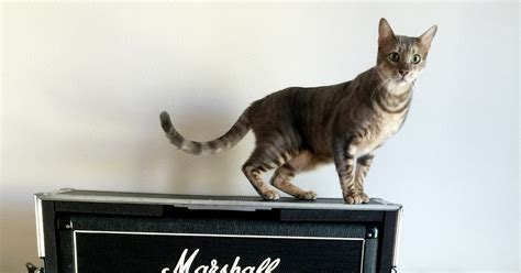 These Cats on Amps Are More Metal Than You   WIRED