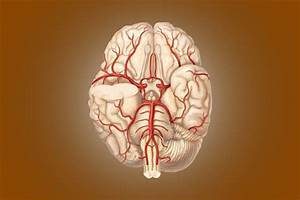 Circle Of Willis  Anatomy  Diagram And Functions  U00bb Science Abc
