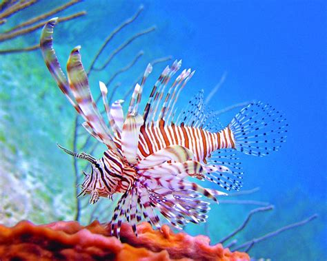 lionfish higgs tim derby abaco june bahamas