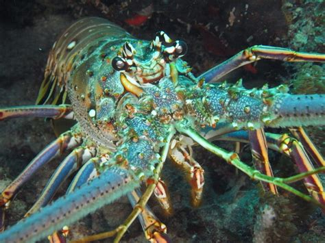 lobster catch spiny keys snorkeling florida tarpon