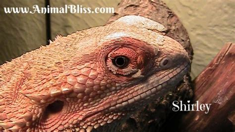 Bearded Shedding Aid by Bearded Shedding Process Reptile Shed What To