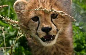 Cheetah Conservation Community Bolsters Cub Count