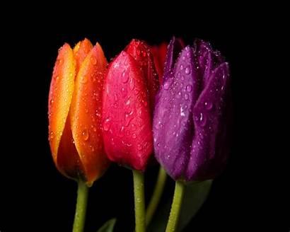 Spring Flowers Flower Yahoo Tulips Tulip Desktop