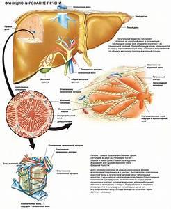 Лекарства для очистки печени и поджелудочной