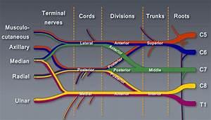 Brachial Plexus Module