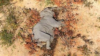 Botswana Elephant Deaths Elephants Spike Causa Elefanti