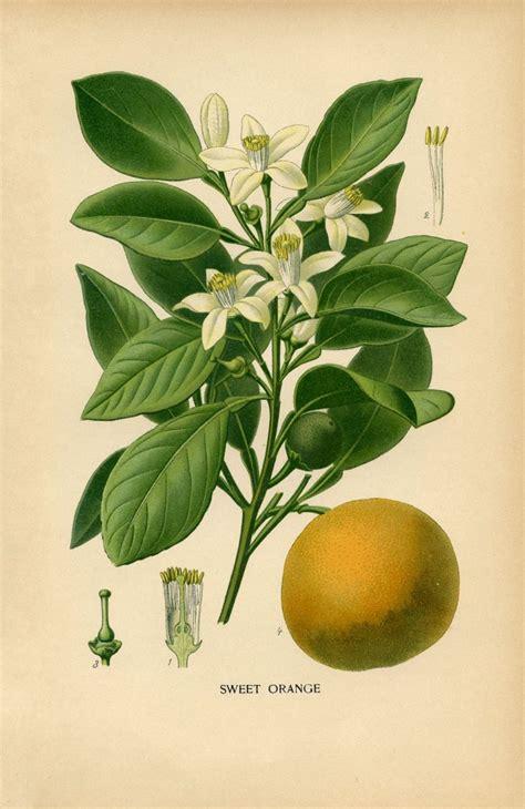 how to make botanical prints vintage botanical print sweet orange the graphics fairy