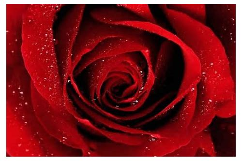 red rose images free download hd