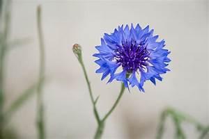 File:Cornflower Blue.jpg - Wikipedia